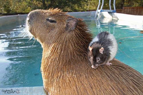 capybararat
