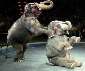 Circus elephants performing.