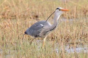 A heron in a marsh